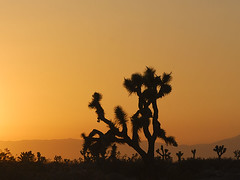 Joshua Tree at Sunset (Cat Girl 007) Tags: california sunset orange color tree nature silhouette rural landscape outdoors scenic joshuatree nopeople photograph antelopevalley idyllic tranquil beautyinnature mojavedessert southwestunitedstates