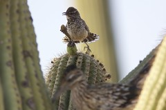 Cactus wren and roadrunner (Henry McLin) Tags: arizona bird birds tucson roadrunner cactuswren sabinocanyon