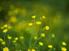 Buttercup Bokeh against a Sea of Green  - Dundee Scotland (Magdalen Green Photography) Tags: nature scotland pretty bokeh dundee f14 85mm scottish greenday greenandyellow seaofgreen 6938 coolgreen simplenaturescene buttercupbokeh iaingordon magdalengreenphotography