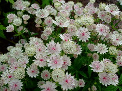Astrantia major'white shades' (yewchan) Tags: flowers flower nature colors beautiful beauty closeup garden flora colours gardening vibrant blossoms blooms lovely astrantia astrantiamajor