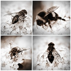 Wings (allertadele) Tags: blackandwhite wings bees insects