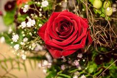 red rose (MR-Fotografie) Tags: red flower rot rose 50mm nikon nikkor blume 18d d90 mrfotografie