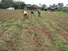Cassava planting at Orin Ekiti (IITA Image Library) Tags: nigeria cassava demonstrationfarm manihotesculenta orinekiti iitacta
