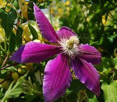 Sunny Clematis (DGS Photography) Tags: flower sunshine blossom clematis vanburen bloom arkansas honeysuckle