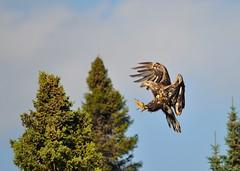 Bald Eagle - Haliaeetus leucocephalus (kttyhwkr) Tags: canada bird nature outdoors nikon wildlife baldeagle raptor haliaeetusleucocephalus birdofprey onamanlake