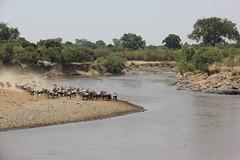 River Crossing (Laika ac) Tags: africa kenya safari zebra migration rivercrossing wildebeest masaimara marariver wildebeestmigration 2013 maratriangle maratrianglepark