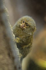 Pygmy Marmoset (mellting) Tags: animal mammal zoo monkey nikon flickr sweden eskilstuna platser pygmymarmoset marmoset parkenzoo nikkor5018 cebuellapygmaea djurparker bloggad dvärgsilkesapa nikond7000 callitrixpygmea mellting matsellting