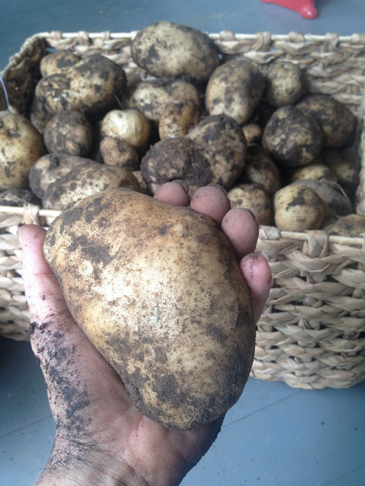 big-potato