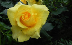 Yellow Rose (Selqet) Tags: flower macro nature rain rose drops nikon may rosa natura coolpix fiore pioggia gocce p100 2011 selqet