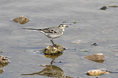 "White Wagtail ""Motacilla alba alba"" (michael.jh) Tags: bird nature birds slimbridge whitewagtail motacillaalbaalba avianexcellence canon7d michaeljh sigma500mm45"