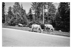 Cows On the road to Laista (George Galanis) Tags: trees film water analog landscape cows 100 ioannina fomapan epirus laista