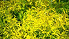 """Spirea Mellow Yellow • <a style=""""font-size:0.8em;"""" href=""""http://www.flickr.com/photos/101656099@N05/9733560295/"""" target=""""_blank"""">View on Flickr</a>"""