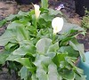 """Calla Lilly • <a style=""""font-size:0.8em;"""" href=""""http://www.flickr.com/photos/101656099@N05/9733563879/"""" target=""""_blank"""">View on Flickr</a>"""