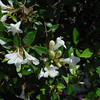 "Abelia Sherwood • <a style=""font-size:0.8em;"" href=""http://www.flickr.com/photos/101656099@N05/9736793508/"" target=""_blank"">View on Flickr</a>"