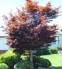 "Bloodgood Japanese Maple • <a style=""font-size:0.8em;"" href=""http://www.flickr.com/photos/101656099@N05/9736794870/"" target=""_blank"">View on Flickr</a>"