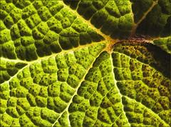 Leaf in 3D (rexboggs5) Tags: leaf 3d offcameraflash flickrchallengegroup flickrchallengewinner thepinnaclehof compsfcg0913 tphofweek220