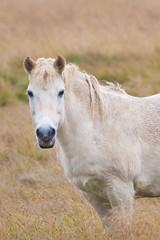 Caballo bajo la lluvia de Rauamelur (FlickrdeChato) Tags: horse wet rain caballo iceland islandia lluvia mojado