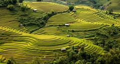Step rice field, Mu Cang Chai - Yen Bai - Vietnam (Anh Dang ^_^) Tags: mountain west green tourism field yellow vertical rural canon landscape countryside is rice farm north terraces tourist vietnam highland step crop western agriculture northern attraction riceterraces 6d 24105 mountainous yenbai mucangchai lapantan
