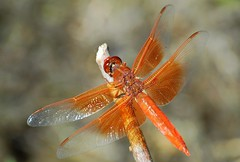 Flame Skimmer (birding4ever) Tags: 5 ngc