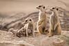 Babysitting ([[BIOSPHERE]]) Tags: southafrica meerkat pups babysitting kalahari
