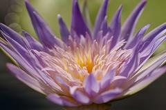 Water lily in sunlight (billcoo) Tags: flower macro purple bokeh explore