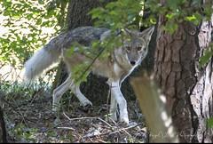 """A Close Call"" - Coyote in Athens, Georgia city limits (Judy Royal Glenn) Tags: coyote nature wildlife wildanimals naturephotography athensgeorgia wildlifephotography"