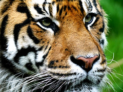 tiger in profile (DWImages-Daniela White) Tags: india white nature beautiful beauty animal closeup cat dark big feline asia fierce outdoor wildlife tiger watch stripe free conservation down anger front safari jungle angry hunter aggression hunt carnivore endengeredspecies