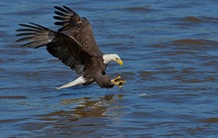 Fishing Eagle (snooker2009) Tags: blue winter summer lake fish bird fall nature birds animal sunrise outdoors spring fishing eagle wildlife flight bald raptor getty migration d800 avianexcellence thewonderfulworldofbirds photoofthedaynwf12 dailynaturetnc13