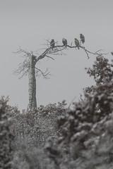 Four Eagles_48346.jpg (Mully410 * Images) Tags: winter snow cold tree bird weather wisconsin eagle birding baldeagle deadtree raptor birdwatching birder birdsofprey crex crexmeadows