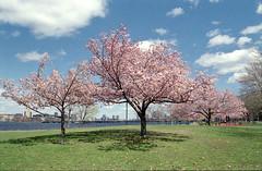 Bloom (dtanist) Tags: macro film boston analog river cherry zoom massachusetts blossoms sigma charles 400 esplanade walgreens ricoh 2880mm xrm