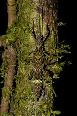 Aretaon sp., female, Mulu NP (MichaSauer) Tags: insect sarawak borneo stick bako phasmid kasai mulu lambir nanga sumpa lubok