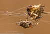 Acanthepeira Spider (sjsimmons68) Tags: animals spiders starbelliedorbweaver insectsandspiders lakejesup fllocations marlbedflatslakejesupca
