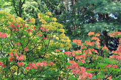 Rhododendron 62 (riccpics) Tags: trees fleurs garden botanical bush jardin arbres bloom botanique arbustre