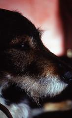 Mischlingsrde Sam (borntobewild1946) Tags: dog sam hund nrw nordrheinwestfalen rheinland tierheim tierheimhund treu brav pfundskerl lieb maledog mischlingsrde copyrightbyberndloosborntobewild1946