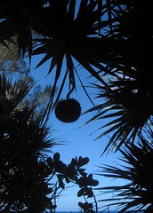 Vacoa fruit (Sokleine) Tags: sea france lava seaside indianocean runion iledelarunion reunionisland ocanindien pitonsainterose couledelave1977