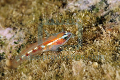 2010-05 HERBLAND MARTINIQUE MASKED GOBY CORYPHOPTERUS  PERSONATUS 4113