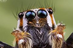 Eyes! (AlkhashabNawaf) Tags: color macro beautiful up canon wonderful insect photography spider jumping eyes close spiders small insects 65 nawaf mpe mpe65 60d alkhashab wwwalkhashabphotocom