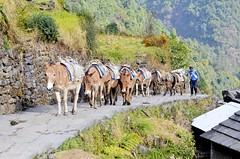 Group of donkeys carrying goods at Chommrong, Nepal (metaxom) Tags: nepal camp mountains trek abc himalaya range base annapurna