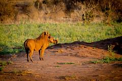 Pumbaa Warthog (Andrew Gibson.) Tags: africa st kenya lionking tsavo warthog pumbaa sarafi taitahills sarovasaltlickgamelodge sonya77 sigma70300apodglens