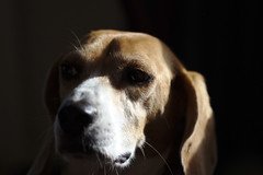 Beagle In Shadow (Rich Renomeron) Tags: dog beagle canoneos60d canonef100mmf28lmacroisusm