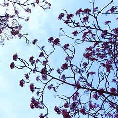Day 14: Berries (amydavies87) Tags: winter sky berries cardiff paleblue butepark