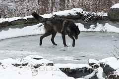WOLVES_Jan182014_0092 (Roni Chastain Photography) Tags: animals wolf wildanimal wolves canines wolfconservationcenter nywolf rockymountaingraywolf