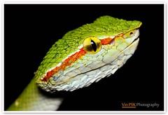 Juvenile Wagler's Pit Viper (Vin PSK) Tags: macro green nature closeup snake wildlife viper waglerspitviper