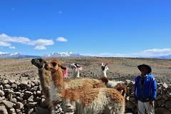 Peru: Patapampa Pass (zug55) Tags: peru llama pass perú abra mirador reservanacional salinasyaguadablanca patapampa miradordelosandes reservanacionalsalinasyaguadablanca patapampapass abrapatapampa