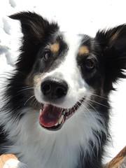 GypsySnowmelt6 (grinningd0g) Tags: dog snow mix collie bc shepherd border australian aussie ofsnowmeltandahappydoggy