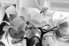 delicate III (wpt1967) Tags: bw sw orchidee zart canon50mmmacro wpt1967