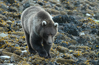 Alaskan grizzly bear on the Sea shore