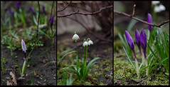 March 10th (Lisa Josefsson) Tags: flowers green grass spring purple twig growing lmj365