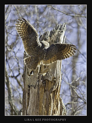 """Great Horned Owl Landing"" (Lisa L Kee Photography) Tags: nature birds canon wildlife flight naturallight owl 500mm birdofprey greathornedowl bif owlet owlnest 500mmf45 canon7d lisalkee lisalkeephotography canon500mmf45"