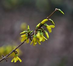 A Required Diagonal (BKHagar *Kim*) Tags: flowers flower nature yellow spring al blossom blossoms alabama athens forsythia bloom blooms yellowbell bkhagar